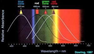 Spectral sensitivity of rods and cones with a spectrum background for reference.